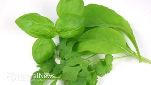 Mùi tây có thể tiêu diệt 86% tế bào ung thư phổi