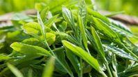 Những vị thuốc hay từ các búp non mùa Xuân
