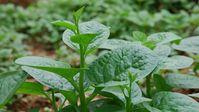 Những loại rau sạch tự trồng 'lớn nhanh như thổi'