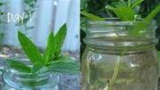 Để ngôi nhà bạn hết muỗi, hãy trồng bạc hà bằng những chỉ dẫn dưới đây