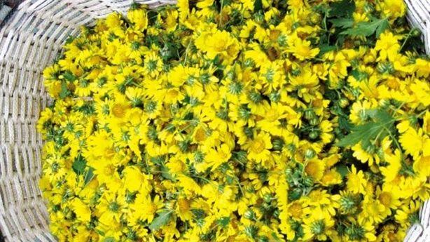 Hoa cúc vàng chữa mất ngủ, điều hòa huyết áp