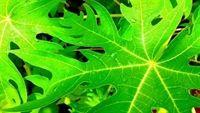 9 tác dụng không ngờ của lá đu đủ