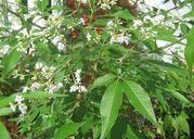 Bài thuốc bí truyền chữa xương khớp từ lá ngũ trảo