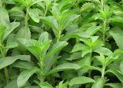 Bạn đã biết về cỏ ngọt Stevia được cả Đông y lẫn Tây y dùng chữa bệnh tiểu đường?