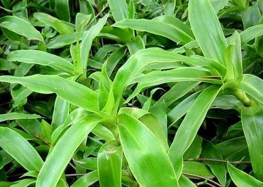 Thực hư về cây lược vàng chữa bệnh