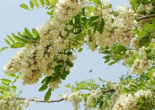 Đau đầu khi sang mùa - Đừng lo đã có bài thuốc từ loài hoa đặc biệt này