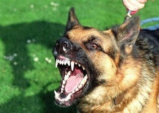 Sai lầm chết người khi lấy 'nọc' chó dại bằng phương pháp dân gian