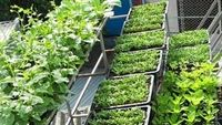 Rau tự trồng: ngỡ sạch nhưng không sạch