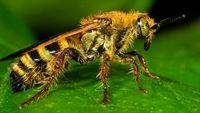Nọc ong bắp cày có thể tiêu diệt tế bào ung thư