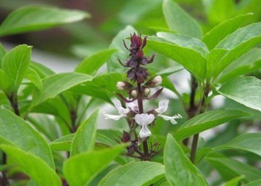 Những cây thuốc hay và dễ trồng tại nhà