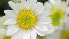 Phương pháp làm đẹp cầu kỳ bằng hoa cúc của Từ Hy Thái Hậu