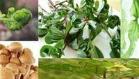 5 loại rau dại chữa nhiều chứng bệnh