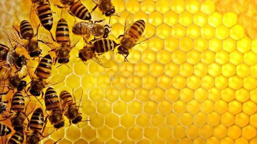 Ăn mật ong rừng: Coi chừng ngộ độc