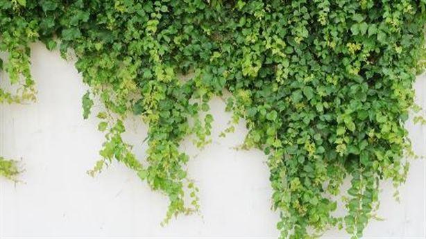 Hút sạch bức xạ, hóa chất độc hại bằng 5 loại cây dễ trồng