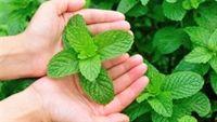 Sự kỳ diệu chữa các loại bệnh của cây Bạc hà
