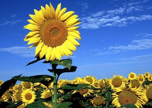 Bài thuốc quý chữa mọi bệnh tật từ loài hoa ''luôn hướng về phía mặt trời''