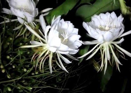 Chữa bệnh thần kỳ từ những loài hoa chỉ nở về đêm
