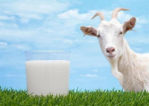 Bạn có đồng tình với nhận định sữa dê tốt hơn sữa bò?
