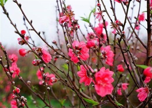 Chỉ với vài mẹo nhỏ này, hoa đào sẽ tươi lâu nở rộ đúng dịp Tết