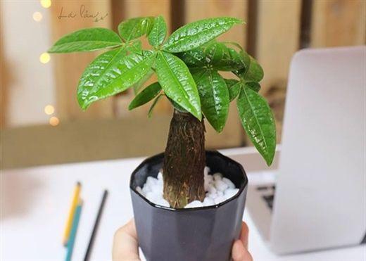10 loại cây đặt trên bàn làm việc giúp bạn có cơ hội thăng quan tiến chức đầu năm mới
