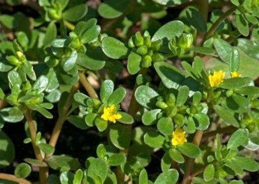 Những cây nhà lá vườn CHỐNG NHIỄM TRÙNG hiệu quả