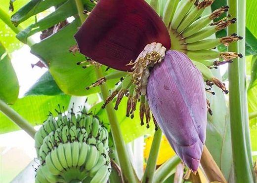 Những lợi ích bất ngờ từ các bộ phận của cây chuối