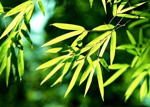 Những loại lá dùng để tắm cực tốt cho người mắc thủy đậu