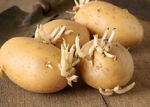 Ăn mầm khoai tây có thể ngộ độc, thậm chí là gây chết người