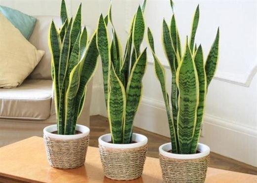 Các loại cây tuyệt đối không trồng trong nhà để tránh tiêu tán tài lộc, rước bệnh cho gia đình