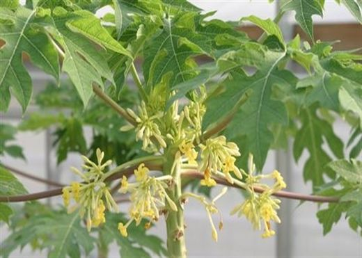 Hoa đu đủ đực: Vị thuốc quý chữa bách bệnh