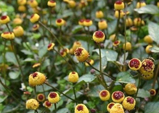 Một số loại hoa không chỉ đẹp mà còn có lợi ích sức khỏe tuyệt vời