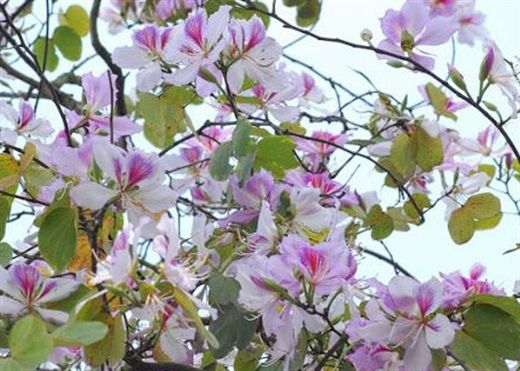 Đang mùa hoa ban nở rộ, nên tận dụng loại hoa này để làm món ăn bài thuốc chữa bệnh cực hay