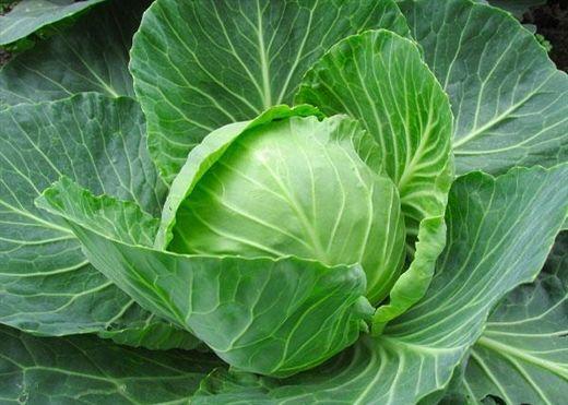 Các nghiên cứu cho thấy Bắp cải có tác dụng giảm nguy cơ mắc một số bệnh ung thư