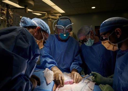 Mỹ ghép thành công thận lợn cho người: mở ra cơ hội cứu sống hàng triệu người mắc bệnh thận
