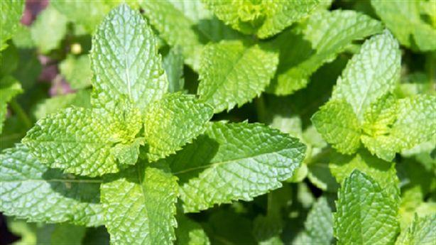 Những loại cây chữa bệnh bạn có thể trồng tại nhà