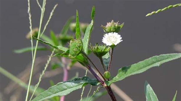 Những bài thuốc quý từ cây nhọ nồi dân giã